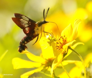 hummingbird-clearwing-moth-i77a3130maria-de-bruyn-res