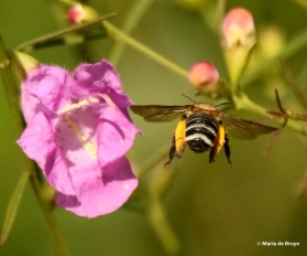 long-horned-bee-melissodes-i77a3428-maria-de-bruyn-res