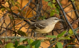 northern-mockingbird-i77a2312-maria-de-bruyn-res
