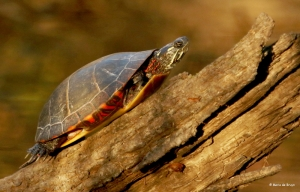 painted-turtle-i77a2277-maria-de-bruyn-res