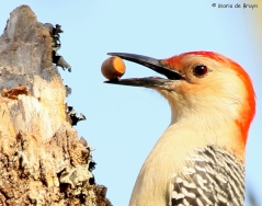 red-bellied-woodpecker-i77a2988maria-de-bruyn-res