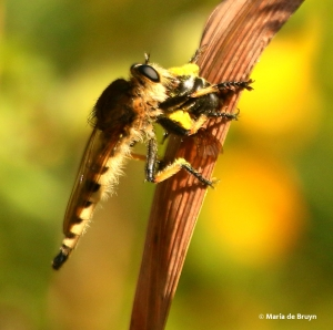 robber-fly-bumblebee-77a2813maria-de-bruyn