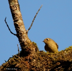 ruby-crowned-kinglet-i77a2574-maria-de-bruyn-res