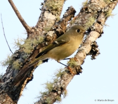 ruby-crowned-kinglet-i77a6241-maria-de-bruyn-res