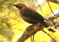 rusty-blackbird-i77a3110maria-de-bruyn-res
