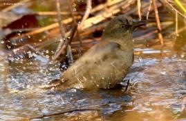 rusty-blackbird-i77a3199-maria-de-bruyn-res