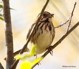 song-sparrow-i77a1499maria-de-bruyn-res