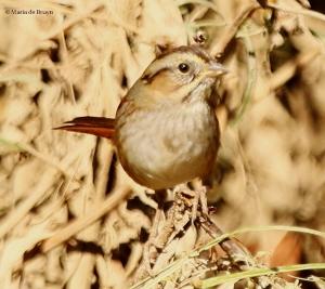 swamp-sparrow-i77a6063-maria-de-bruyn-res