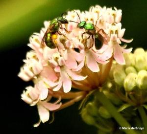 sweat-bee-on-milkweed-i77a7861-maria-de-bruyn-res