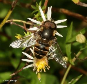 syrphid-fly-eristalis-dimidiata-i77a2060-maria-de-bruyn