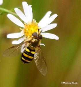syrphid-fly-eupeodes-subgenus-metasyrphus-i77a6061-maria-de-bruyn