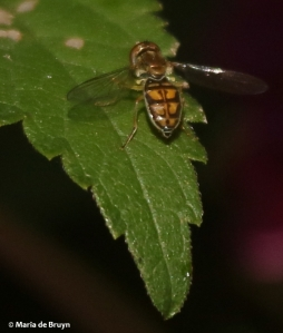 syrphid-fly-toxomerus-marginatus-i77a5952-maria-de-bruyn-res