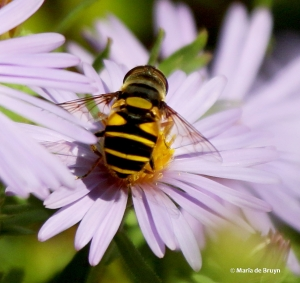transverse-flower-fly-eristalis-transversa-i77a2116-maria-de-bruyn