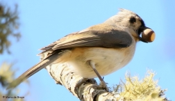 tufted-titmouse-i77a1965maria-de-bruyn-res