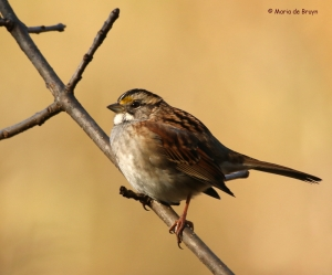 white-throated-sparrow-i77a1564maria-de-bruyn-res