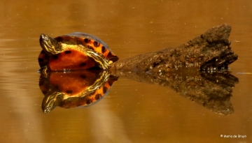yellow-bellied-slider-i77a2954-maria-de-bruyn-res