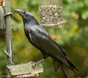 american-crow-dk7a2281-maria-de-bruyn-res
