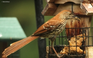 brown-thrasher-img_9913-maria-de-bruyn-res