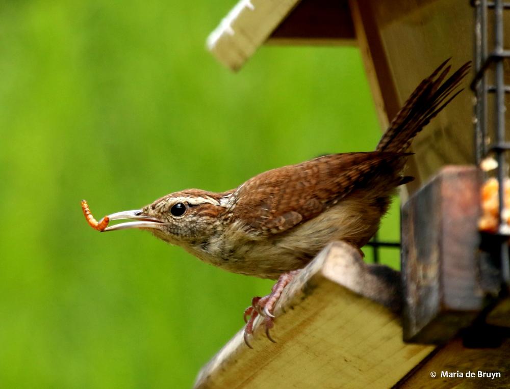 Cómo atraer a los Bluebirds | Pájaros