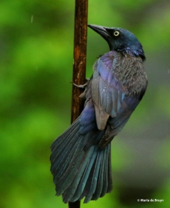 common-grackle-i77a1447-maria-de-bruyn-res