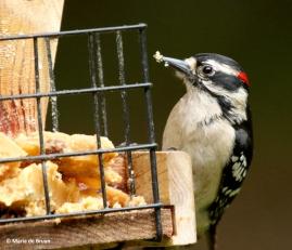 downy-woodpecker-dk7a1961-maria-de-bruyn-res