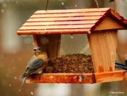 eastern-bluebird-i77a6862-maria-de-bruyn-res
