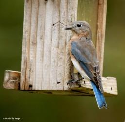 eastern-bluebird-i77a9596-maria-de-bruyn-res