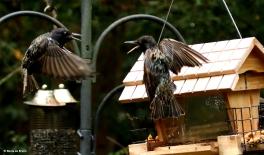 european-starling-dk7a0871-maria-de-bruyn-res