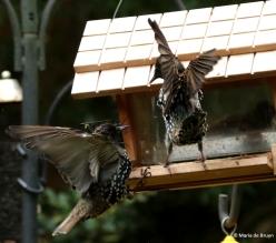 european-starling-dk7a0937-maria-de-bruyn-res