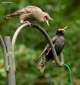 european-starling-dk7a3396-maria-de-bruyn-res