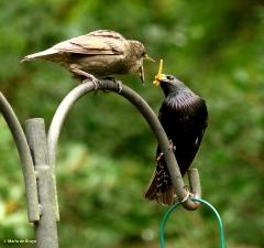 european-starling-dk7a3404-maria-de-bruyn-res