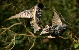 european-starling-dk7a5130-maria-de-bruyn-res