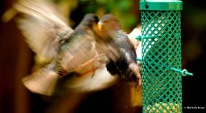 european-starling-dk7a5233-maria-de-bruyn-res