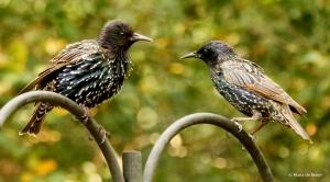 european-starling-dk7a5386-maria-de-bruyn-res