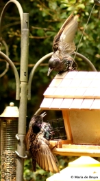 european-starling-dk7a5647-maria-de-bruyn-res