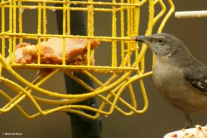 northern-mockingbird-i77a9648-maria-de-bruyn-res
