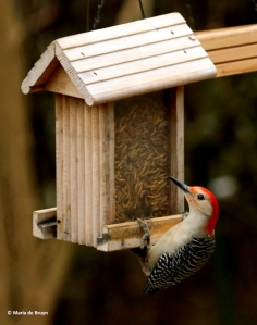 red-bellied-woodpecker-dk7a0440-maria-de-bruyn-res