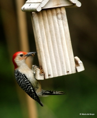 red-bellied-woodpecker-dk7a1833-maria-de-bruyn-res