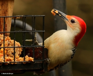 red-bellied-woodpecker-i77a4258maria-de-bruyn-res