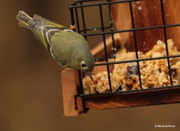 ruby-crowned-kinglet-img_1776-maria-de-bruyn-res