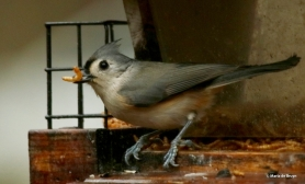 tufted-titmouse-i77a9678-maria-de-bruyn-res