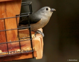 tufted-titmouse-img_4143-maria-de-bruyn-res