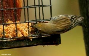 yellow-rumped-warbler-i77a9778-maria-de-bruyn-res