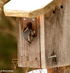 brown-headed-nuthatch-i77a4183-maria-de-bruyn-res