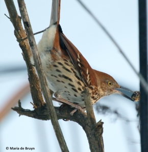 brown-thrasher-i77a3607-maria-de-bruyn-res