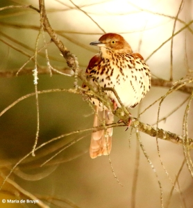 brown-thrasher-i77a4236-maria-de-bruyn-res