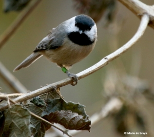 carolina-chickadee-chantal-i77a7263-maria-de-bruyn-res