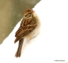 chipping-sparrow-i77a2830-maria-de-bruyn-res