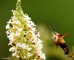 clearwing-hummingbird-moth-i77a7002-maria-de-bruyn-res