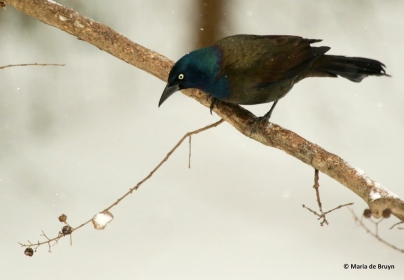common-grackle-i77a3068-maria-de-bruyn-res